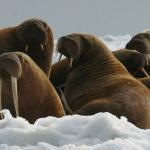 [NA MARGINESIE] Shell gotowy do wydobycia ropy naftowej w Arktyce