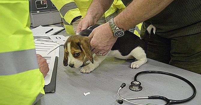 Promy do Irlandii: Prawie 100 szczeniaków uratowanych z promu Dublin-Holyhead
